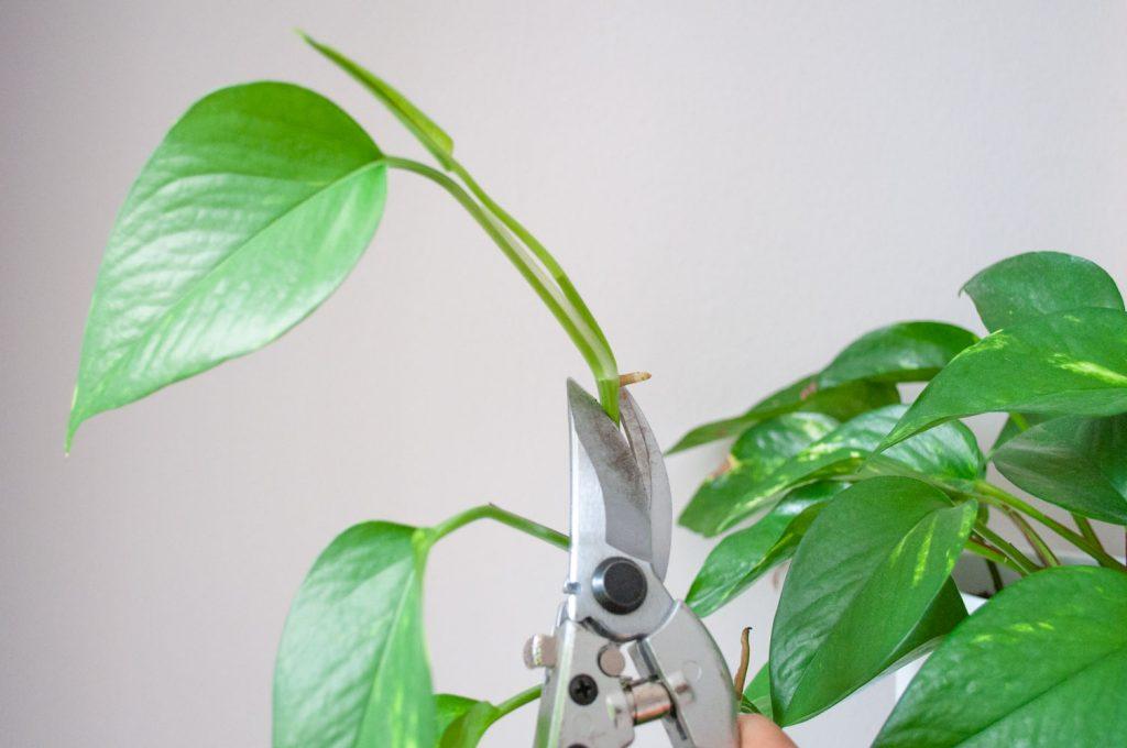 planten stekken knippen